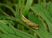 Grasshopper on grass close up — Stock Photo