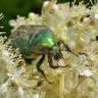 Green beetle on a white flower — Stock Photo
