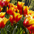 Tulips in Keukenhof — Stock Photo