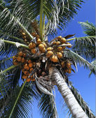 Coconut tree — Foto Stock