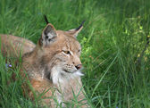 Lynx in forest — Stock fotografie