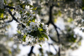 Springtime Cherry Blossom — Stock Photo