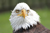 Bald Eagle — Stock fotografie