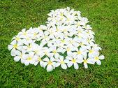 Frangipani in heart shape on green grass background — Stock Photo