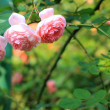 Beautiful pink rose in a garden — Stock Photo #44446125
