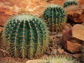 Echinocactus grusonii Hildm , CACTACEAE — Stock Photo