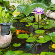 Water lily lotus flower with green leaves in the pond — Stock Photo #49583561