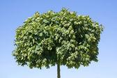 A green treetop — Stock Photo