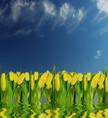 Yellow tulips on a blue sky — Stock Photo