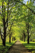 Beautiful tree alley in the park, natural background — Photo