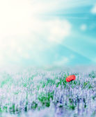 Alone poppy in lavander under the sunny sky, summer natural land — Stock Photo