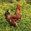 Cock on a grass — Stock Photo