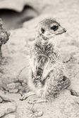 Photo of baby meerkat in Athens Zoo, Greece — Stock Photo