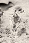 Photo of baby meerkat in Athens Zoo, Greece — Stock Photo