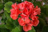 Pelargonium (geranium) bloom — Stock Photo