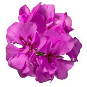 Flowers pink geranium on a white background — Stock Photo