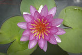 Waterlily lotus flower and leaves — Stock Photo