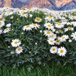 A meadow of daisies — Stock Photo