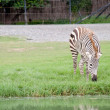 A zebra eating grass — Stock Photo #37819793