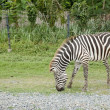 Stock Photo: A zebra eating grass