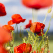 Field poppy on meadow — Stock Photo