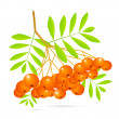 Rowan Berries — Stock Vector