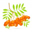 Stock Vector: Rowan Berries