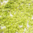 Green Plant on Wall - Parthenocissus tricuspidata — Stock Photo #44767037