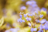 Abstract Forget-me-not Flower Blurred Background — Stock Photo