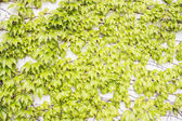 Green Plant on Wall - Parthenocissus tricuspidata — Stock Photo