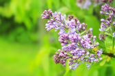 Lilac Photo on Green Blurred Background — Stock Photo