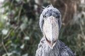 Shoebill - Balaeniceps Rex - Bird Photo — Stock Photo