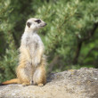 Suricate - Meercat Photo — Stock Photo