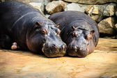Hippo Couple Photo — Stock Photo