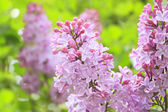 Lilac Photo on Green Blurred Background — Foto de Stock