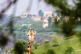 Giraffe Photo with Town on Background — Foto de Stock