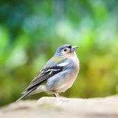 Chaffinch Bird - Fringilla Coelebs Bird on Colorful Background  — Stock Photo