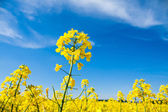 Yellow Oilseed Rape Field with Blue Sky — Stock Photo