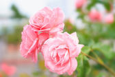 Pink Roses Flowers Background  — Stock Photo