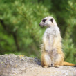 Suricate - Meercat Photo — Stock Photo #50002571