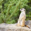 Suricate - Meercat Photo — Stock Photo #50004157