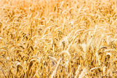 Ear of Wheat Photo with Nature Background — Stock Photo