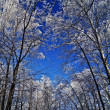 Stock Photo: Tops of trees in winter forest.
