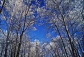 Wierzchołki drzew w lesie zimą. — Zdjęcie stockowe