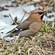 Songbird waxwing. — Stock Photo #37748377