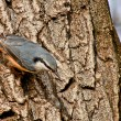 Stock Photo: Nuthatch.