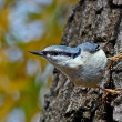 Stock Photo: Nuthatch runs trees.