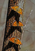 A flock of butterflies hives. — Stock Photo
