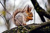 Verpleging eekhoorn - de moeder moet eten veel. — Stockfoto