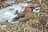Songbird waxwing. — Stock Photo